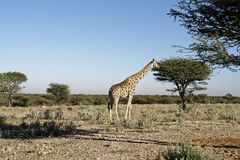 Giraffe in African bush-veld landscape with acacia tree under blue sky at Okonjima Nature Reserve, Namibia. Giraffe in African bush-veld landscape with acacia stock image