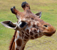 The giraffe. Is an African even-toed ungulate mammal, the tallest living terrestrial animal and the largest ruminant. Its species name refers to its camel-like Stock Photo