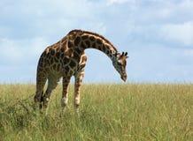 Giraffe in african grassland Stock Images