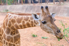 giraffe african mammal eating leaves from a tree Stock Photos