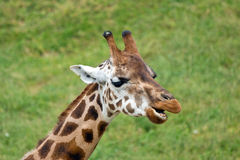 Giraffe african mammal Stock Photo