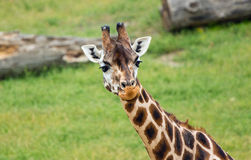 Giraffe african mammal Royalty Free Stock Photos