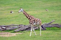 Giraffe african mammal Royalty Free Stock Images