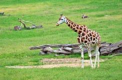 Giraffe african mammal Stock Photos