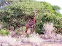 Giraffe. In African National Park Amboseli Royalty Free Stock Images
