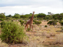 Giraffe. In African National Park Amboseli Stock Photography