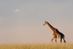 Giraffe on African plains Royalty Free Stock Photo