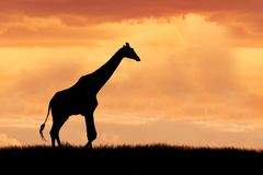 Giraffe on African plains Stock Photography