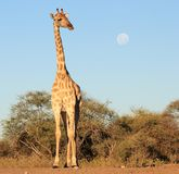 Giraffe - African Queen and the Full Moon Royalty Free Stock Image