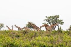 Giraffe in the African savanna. Tanzania Royalty Free Stock Photos