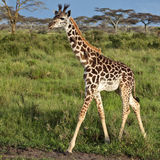 Giraffe in the African savannah Royalty Free Stock Photography