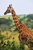 Giraffe in the African savannah Stock Photos