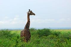 Giraffe in the African savannah Royalty Free Stock Photos