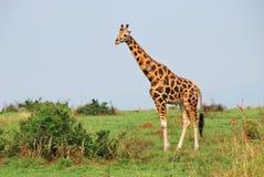 Giraffe in the african savannah Royalty Free Stock Photo