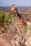 Giraffe on African savannah in Kenya Royalty Free Stock Images