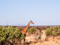 Giraffe on African savannah in Kenya Royalty Free Stock Photos