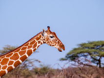 Giraffe on African savannah in Kenya Royalty Free Stock Image
