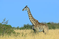 Giraffe in the African savannah Stock Photo