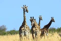 Giraffe in the African savannah Stock Photography