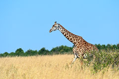 Giraffe in the African savannah Royalty Free Stock Photos