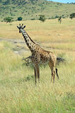Giraffe in the African savannah Royalty Free Stock Images