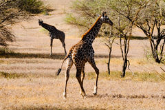 Giraffe at the African savannah in motion. Royalty Free Stock Photography