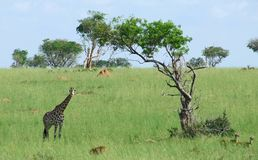 Giraffe in african savannah Royalty Free Stock Photos