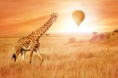 Giraffe in the African savannah at sunset with balloon in the sky. Wild nature of Africa. African adventure stock images