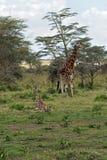 Giraffe royalty free stock image