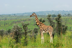 Giraffe in the african savannah, Uganda Stock Photos