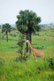 Giraffe in the african savannah, Uganda Stock Photography