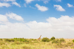 Giraffe in african wilderness. Royalty Free Stock Images