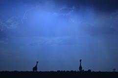 Giraffe - African Wildlife Background - Blue Skies Stock Photography