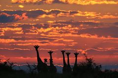 Giraffe - African Wildlife Background - Colorful Cloudscape and Herd Stock Photography