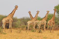 Giraffe - African Wildlife Background - Curious Herd Stock Photography