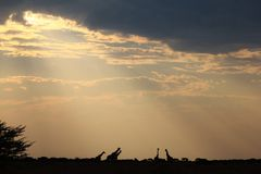 Giraffe - African Wildlife Background - Epic Silhouettes Royalty Free Stock Photography