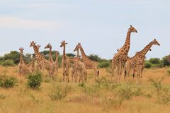 Giraffe - African Wildlife Background - Herd of Colors and Posture Stock Photo
