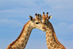 Giraffe - African Wildlife Background - Iconic Species Stock Photos