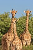 Giraffe - African Wildlife Background - Looking for Patterns Royalty Free Stock Photography