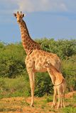 Giraffe - African Wildlife Background - Loving Mother Royalty Free Stock Photo