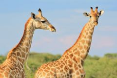 Giraffe - African Wildlife Background - Posing Necks and Patterns Royalty Free Stock Image