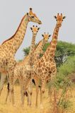 Giraffe - African Wildlife Background - Posing Symmetry Stock Photo