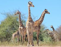 Giraffe - African Wildlife - Pose of Three on the look-out Royalty Free Stock Photos