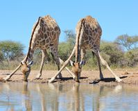 Giraffe - African Wildlife - Watering hole aerobatics Royalty Free Stock Photo