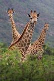 Giraffe africane Immagini Stock