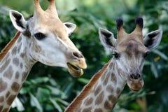 Giraffe africane Fotografie Stock Libere da Diritti