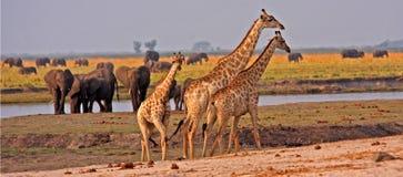 Giraffe africane. Immagini Stock