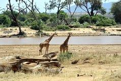 Giraffe africane Immagine Stock Libera da Diritti