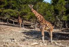 Giraffe africane all'aperto Fotografia Stock
