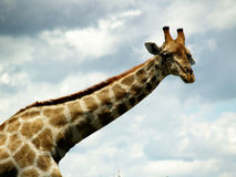 Giraffe africano Imagem de Stock